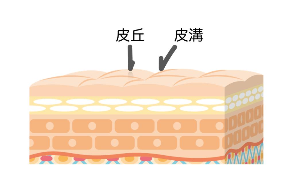 肌の表面の説明画像