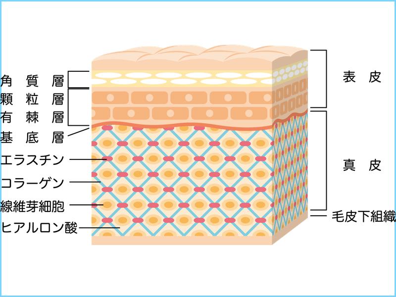 肌の構造を細かく示した画像